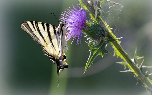 fil(et) à papillons - Page 14 47068116.967d7976.640