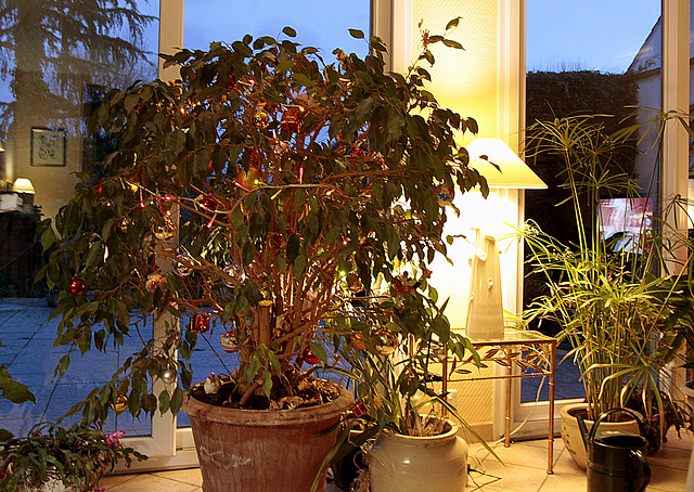 Ficus benjamina 47888398.db1fba97.640