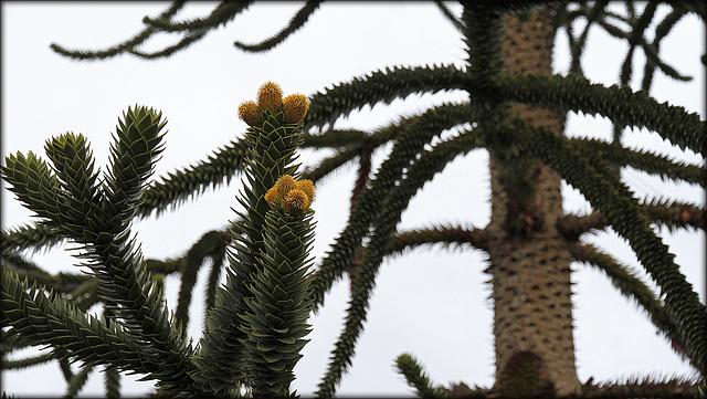 Araucaria araucana - désespoir du singe - Page 2 36298812.8f9a1012.640