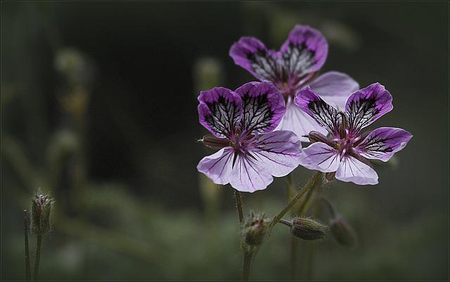 Erodium cheilanthifolium subsp. glandulosum - érodium glanduleux 38858836.4e15ee43.640