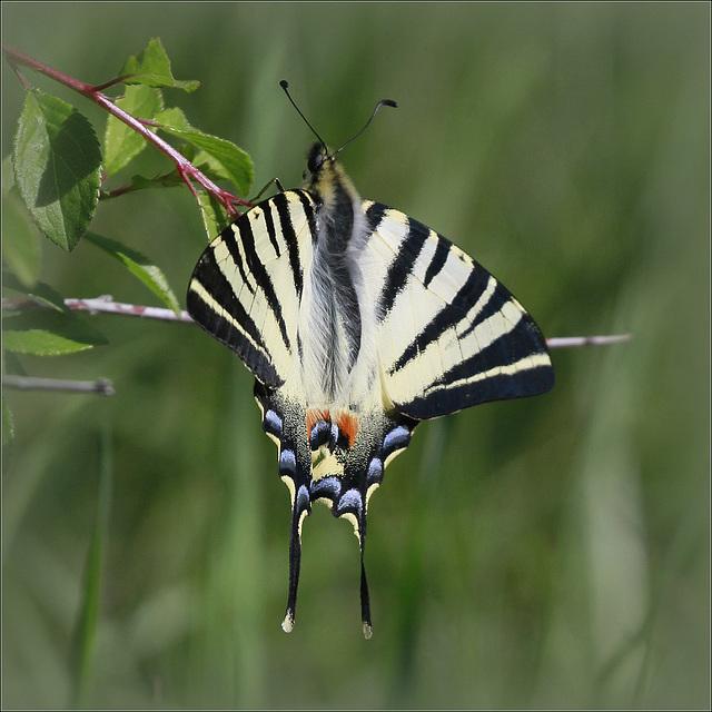fil(et) à papillons - Page 14 46769558.b5ae8be8.640