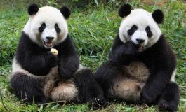 Fotos de animales de todo tipo incluyendo mascotas que más te gustan Pandas-gigantes--265x160