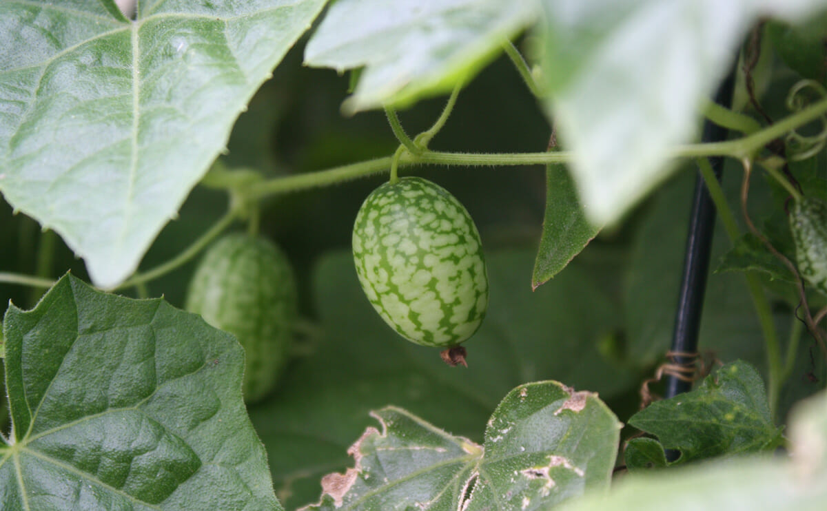 Cucumber: What is Your Favorite? Gherkinhero
