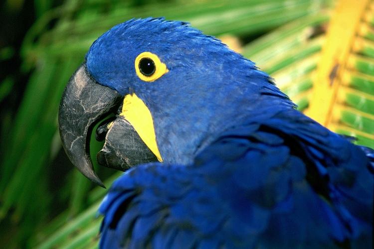 Arara Azul – Guia Completo de Criação e Reprodução  3207186
