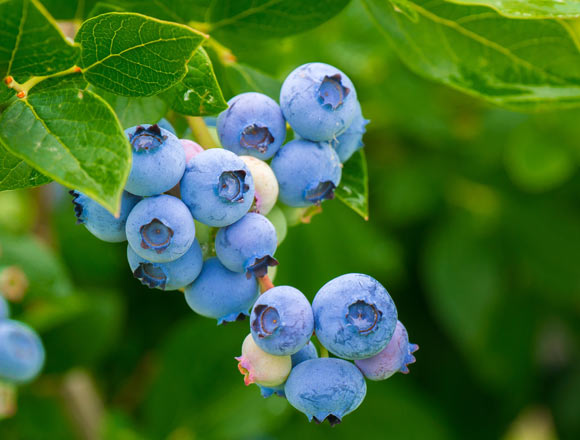 Eating Blueberries Daily Reduces Risk of Cardiovascular Disease: Study Image_7250-Blueberry