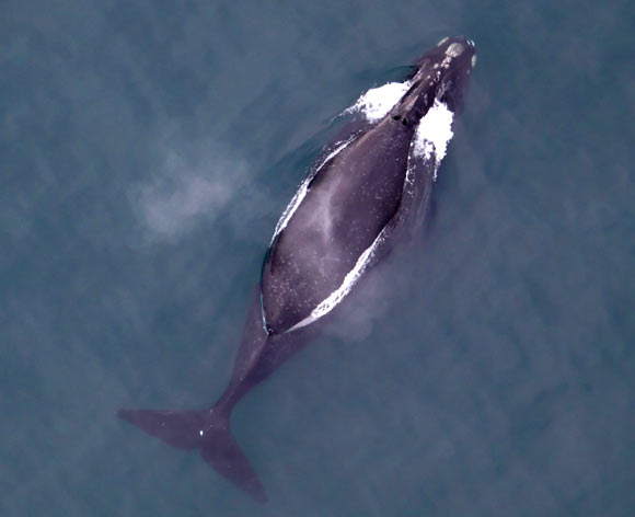 Researchers Record Songs of North Pacific Right Whale for First Time Image_7313-Eubalaena-japonica
