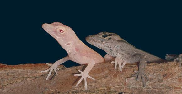 Researchers Create Albino Lizards Using CRISPR-Cas9 Gene Editing Image_7556_1-Albino-Lizards