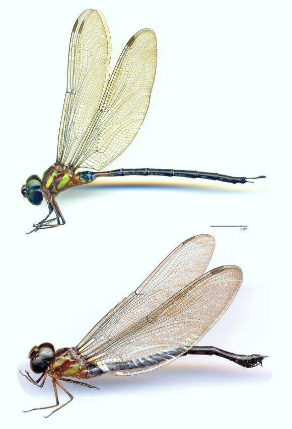 Beautiful New Species of Dragonfly Discovered Image_7774-Gynacantha-vargasi