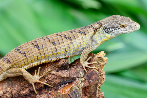 New Species of Alligator Lizard Discovered in Mexico Image_8846-Abronia-morenica