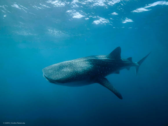 Female Whale Sharks Overtake Males to Become World's Largest Fish Image_8854-Whale-Shark