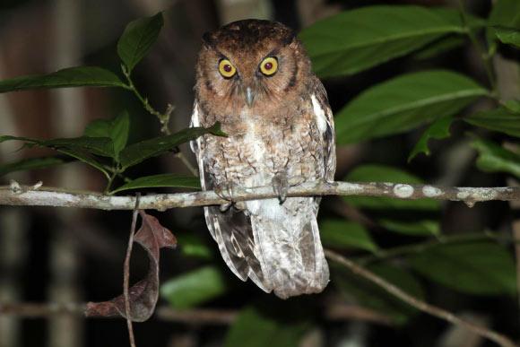 Two New Species of Screech Owls Image_9496_1-Megascops-alagoensis
