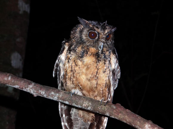 Two New Species of Screech Owls Image_9496_2-Megascops-stangiae