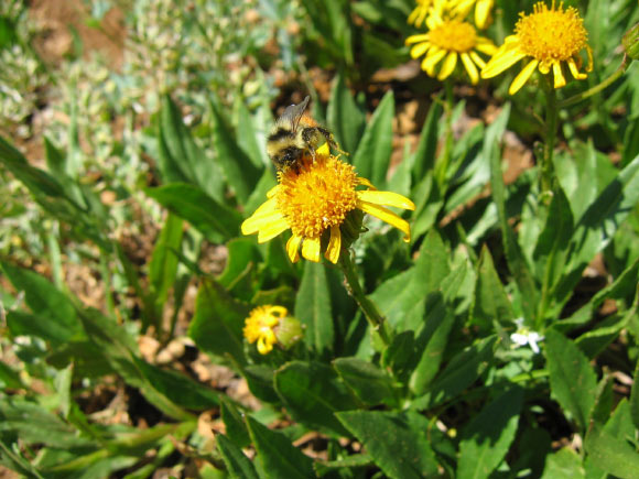 Cryptic New Species of Bumblebee Discovered in Rocky Mountains Image_9532-Bombus-incognitus