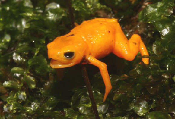 Poisonous Fluorescent Frog Discovered in Brazil Image_9610-Brachycephalus-rotenbergae