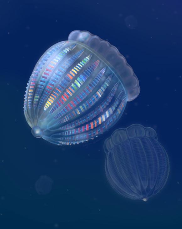 Cambrian Comb Jellies Had More Complex Neuroanatomy than Living Species Image_9988-Ctenorhabdotus-Thalassostaphylos