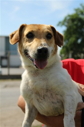 CHARLY - jack russel 5 ans - Spa de Dunkerque (59) I286541539341369757._szw270h3500_