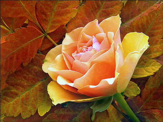 ~Floriiii~ - Page 2 Flowers_65