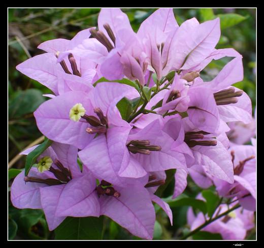 ~Floriiii~ - Page 2 Flowers_77