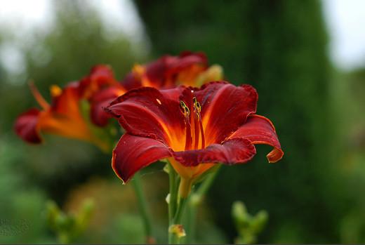 ~Floriiii~ - Page 2 Flowers_81