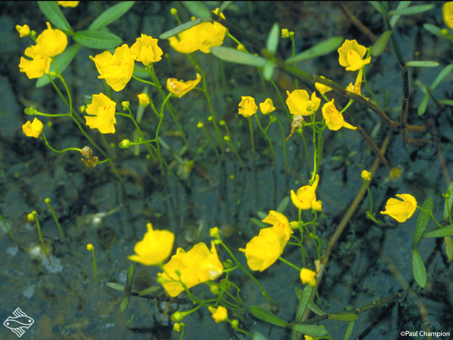 une plante - ajonc  - 18 aout trouvée par Martine Tb-Utricularia-gibba-01