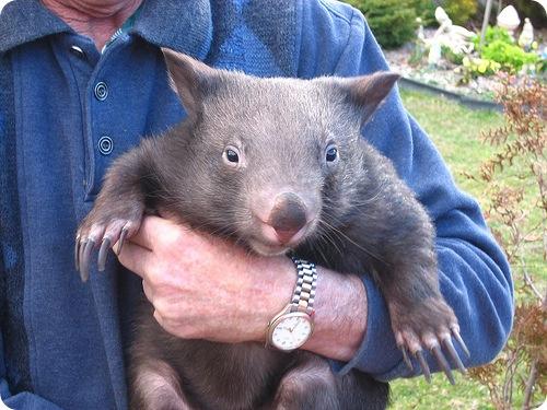 Забавные животные - Страница 5 Wombat1