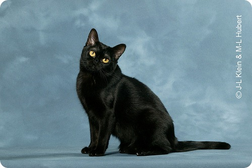 Необычные и редкие породы кошек и собак 3892762824_28fffd6c37