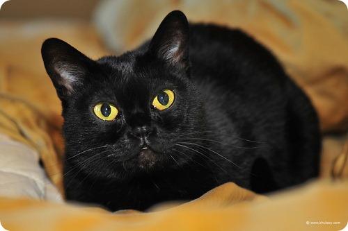 Необычные и редкие породы кошек и собак Bombay-cat-photo