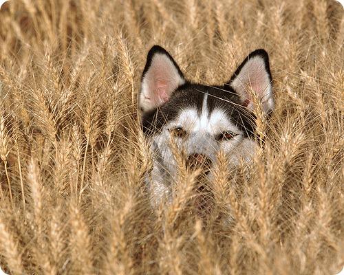 Необычные и редкие породы кошек и собак 3377613096_656989e806