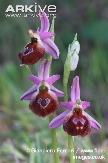 HOA GIEO TỨ TUYỆT - Page 49 Argolic-ophrys-flowers
