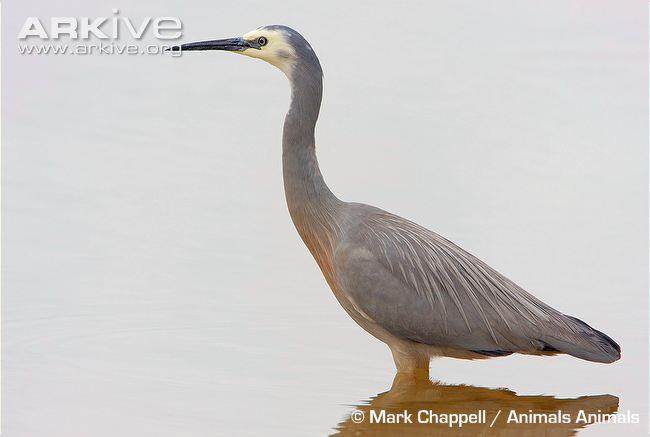 Garças do mundo White-faced-heron