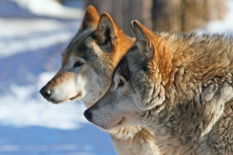 Animal Success Stories Prove Why We Need To Protect The Endangered Species Act Wolves