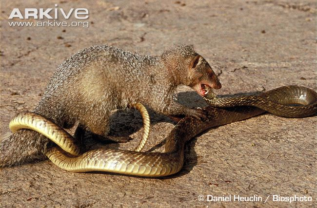 Boston terrier vs Mangusto indiano Indian-grey-mongoose-attacking-a-snake