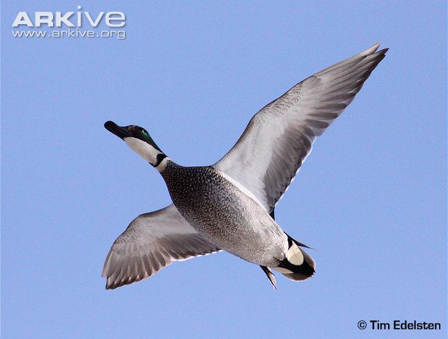Patos do mundo Male-falcated-duck-in-flight-ventral-view