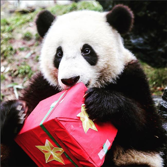 [BONNES FÊTES DE FIN D'ANNÉE ET JOYEUX RÉVEILLON A TOUS!] Panda-Zoo-Pairi-Daiza_imagefull