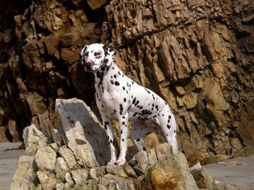 Далматинцы - Опасные собаки
