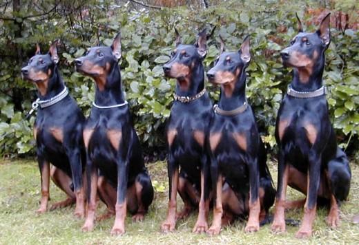 Доберман Пинчер - Опасная собака