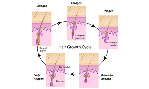 28 Powerful Home Remedies For Hair Growth Phases-of-hair-growth-cycle