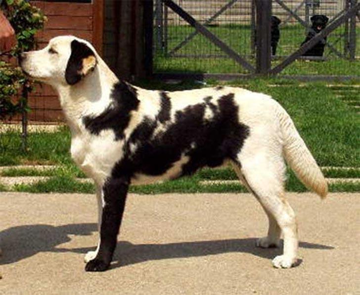 35 perros con el pelaje más espectacular y único que te puedas imaginar Dog-coat-markings-13