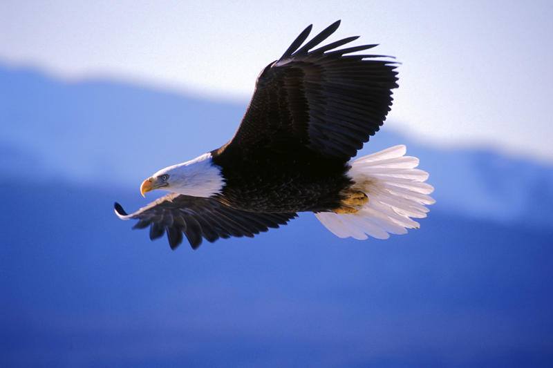 Animal Success Stories Prove Why We Need To Protect The Endangered Species Act Eagle