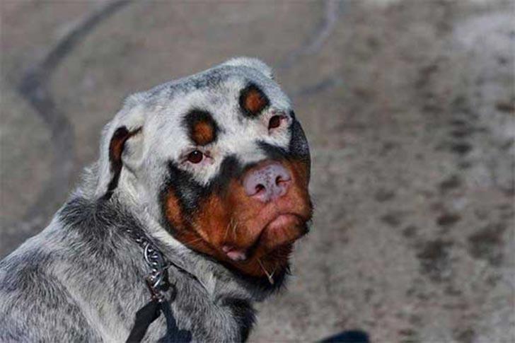 35 perros con el pelaje más espectacular y único que te puedas imaginar Dog-coat-markings-8