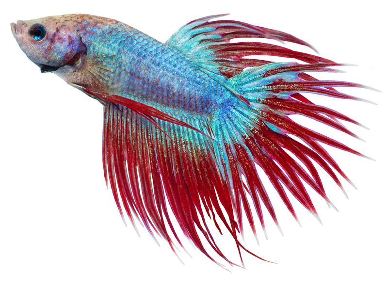 Repousse des nageoires: question! 137245-800x594r1-Red-and-blue-Crowntail-Betta