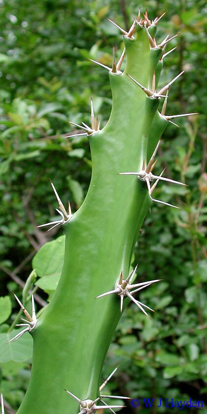Εικόνες Φυτών... Acanthocereus_pentagonus_01s