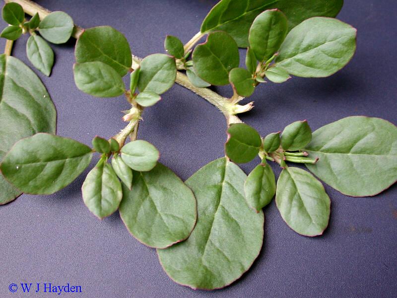 VƯỜN CÂY ĐV II Trianthema_portulacastrum_5156_01s