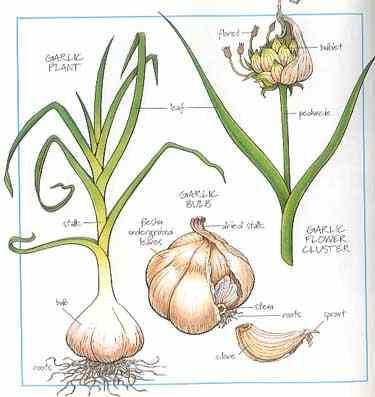 garlic - Planting garlic? Garlic1