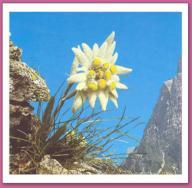 Fleurs,....fruit,.....tout ce qui se mange,...se boit....ou qui vient de la nature.......... - Page 38 Edelweiss
