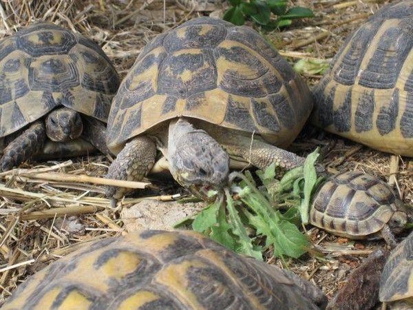 la tortue D2e1ea1b