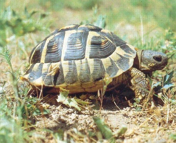 la tortue F0fa2665