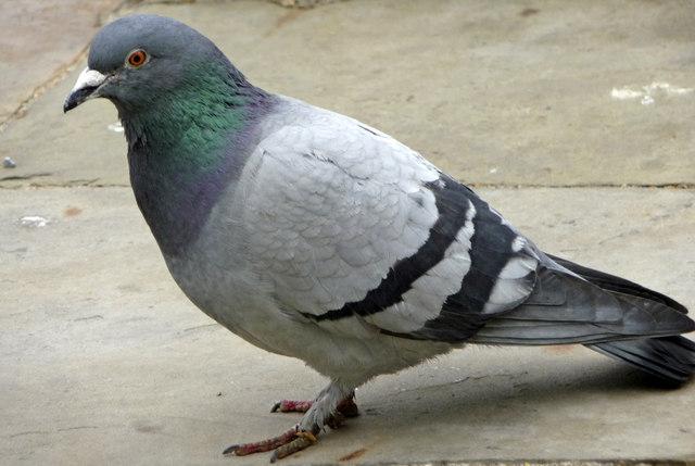 Suite d'image - Page 4 Feral-pigeon