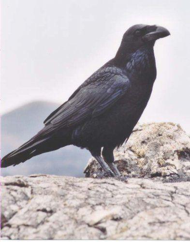 الغراب والشحرور وطائرالجنة 20071023121757-cuervo