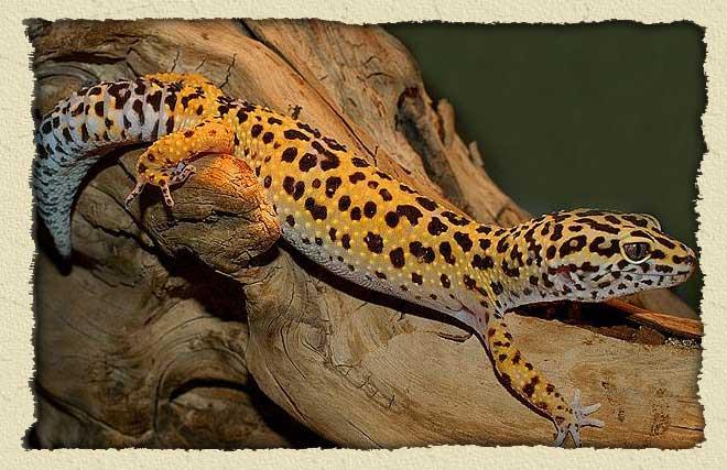 [Fiche] Eublepharis macularius Leopard-gecko-bg%20site